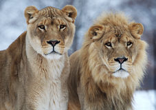 Lion couple. The couples of lions are staring something together Stock Image