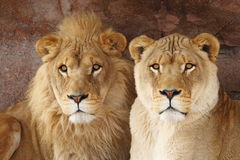 Lion couple. The couple of lions stay together peaceful royalty free stock photos