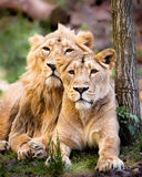 Lion couple Stock Photography