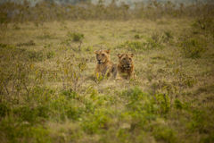 Lion couple in Africa Stock Photos