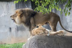 Lion couple. A lion couple in captivity Stock Photography