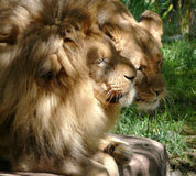 Lion couple courting Royalty Free Stock Image