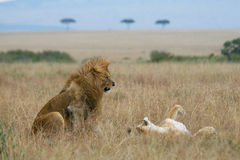 Lion couple on honeymoon. African lion and lioness teasing each other during courtship in Masai Mara Serengeti ecosystem, East Africa Stock Photo