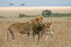 Lion couple on honeymoon. African lion and lioness during courtship in open plains of Masai Mara, Kenya Stock Image