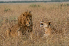 Lion couple on honeymoon. African lion and lioness at courtship during mating season, Masai Mara, Kenya Stock Photos
