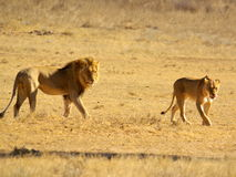Southern african animals. Lion couple at Kgalagadi Transfrontier Park Royalty Free Stock Photos