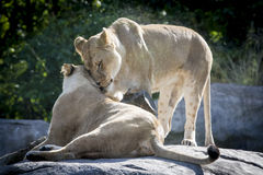 Lion couple in love royalty free stock photo
