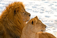Lion couple lying in the snow Stock Images