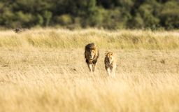 Lion couple in the Masai Mara. A pair of adult lions walking across the grassland of the Masia Mara royalty free stock photo