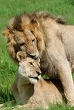 Lion couple mating, Okavango Stock Image