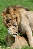 Lion couple mating, Okavango stock image