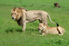 Lion couple in between mating, Okavango Royalty Free Stock Photos