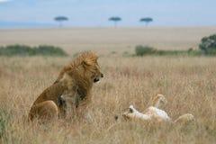 Lion Couple On Honeymoon Stock Photo