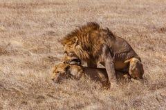 Lion couple. Photo taken during the safari in Ngorongoro area. Tanzania stock images