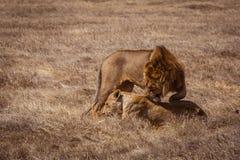 Lion couple. Photo taken during the safari in Ngorongoro area. Tanzania stock image