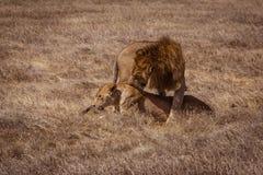 Lion couple. Photo taken during the safari in Ngorongoro area. Tanzania royalty free stock photos