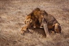 Lion couple. Photo taken during the safari in Ngorongoro area. Tanzania stock photos
