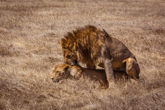 Lion couple. Photo taken during the safari in Ngorongoro area. Tanzania royalty free stock photo