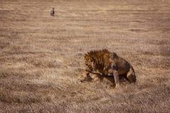Lion couple. Photo taken during the safari in Ngorongoro area. Tanzania royalty free stock photography