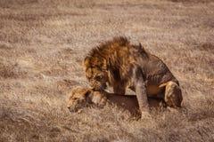 Lion couple. Photo taken during the safari in Ngorongoro area. Tanzania royalty free stock image