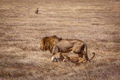 Lion couple. Photo taken during the safari in Ngorongoro area. Tanzania stock photography