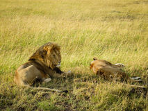 A lion couple relaxing on the grass Stock Photography