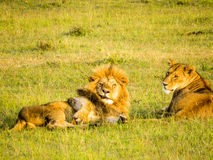 A lion couple relaxing on the grass Royalty Free Stock Photography
