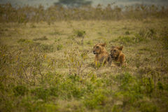 Lion couple resing in Africa Royalty Free Stock Images