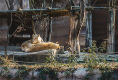 A Lion couple resting under a bright sunshine on a sunny day royalty free stock photography