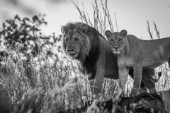 Lion couple standing on a rock in black and white. Stock Image