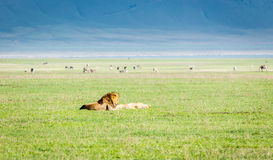 Lion couple ,Tanzania Royalty Free Stock Photos