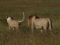 Lion courtship. Courting lions in Masai Mara, Kenya Royalty Free Stock Photos