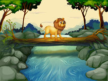 A lion crossing the river Stock Photos