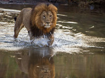 Lion crossing river. Image of a beautiful, healthy male lion taken in Amakhosi, KwazuluNatal, South Africa. He crossed the river to follow a lioness walking on Royalty Free Stock Images