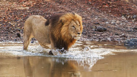 Lion crossing river 2 Royalty Free Stock Photos