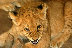 Lion Cub 02. Lion cub being aggresive while photo is being taken Stock Photo