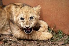 Lion cub Royalty Free Stock Photos