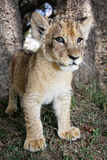 Lion Cub. Walking in the woods stock images