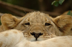 Lion cub. An inactive beautiful little lion cub head portrait with cute expression in the adorable face resting and watching other African wildlife in a game Stock Image
