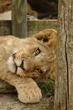 Lion cub. A cute lazy and inactive little lion or lioness cub head portrait with adorable expression in the face watching other lions in a game park in South Stock Photography