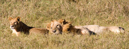 Lion and cub Royalty Free Stock Image