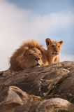 Lion and cub. On a rocky top facing camera Stock Images