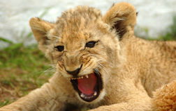 Lion cub. Head portrait of a cute lion or lioness cub with gorgeous expression in the face in a game reserve in South Africa showing its milkteeth by yawning Stock Images