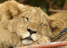 Lion cub. A young cute little lion or lioness cub head portrait with relaxed expression in the face resting and sleeping in a game park in South Africa Royalty Free Stock Photos