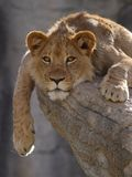 Lion Cub. Male lion cub relaxing on a rock stock images