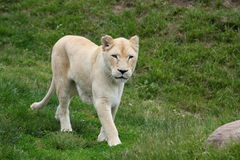 Lion cub. The lion cub is walking around Stock Photo