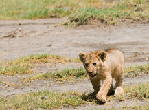 Lion cub. Wild lion cub walking in the grass stock photography