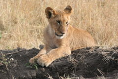 Lion Cub. A six month old lion cub playing in the early morning sun. Maasi Mara Game Reserve, Kenya, East Africa. October 2006 stock photos