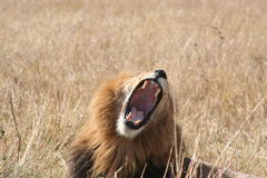 Lion Cub. A male lion expresses himself. Maasi Mara Game Reserve, Kenya, East Africa. October 2006 Stock Images