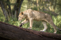 Lion cub Royalty Free Stock Photo